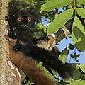 Black lemur (Eulemur macaco) male.jpg