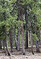 Black pine - Karaçam 02.jpg