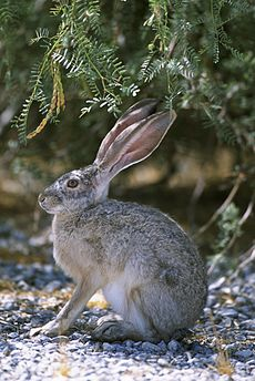 Black tailed jackrabbit.jpg
