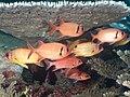 Blackspot squirrelfish, Pinecone soldierfish and Samurai squirrelfish (48776886547).jpg