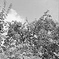 Bloeiende appelbomen in Locarno, Bestanddeelnr 254-5304.jpg