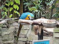 Blue & gold Macaw at Amazon World Zoo.JPG