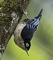 Blue Nuthatch - Cibodas Botanical Garden, Java, Indonesia (cropped).jpg