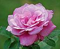 Blue Parfum (Tantau 1978) 01.jpg