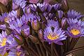 Blue lotus (5108871041).jpg