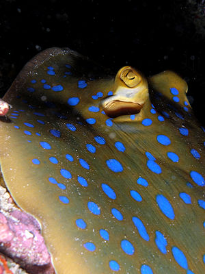 Bluespotted ribbontail ray - A bluespotted ribbontail ray in Komodo National Park, Indonesia.