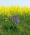 Bluebells (Hyacinthoides non-scripta) - geograph.org.uk - 1273324.jpg