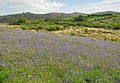Bluebells on Holwell Lawn 2.jpg