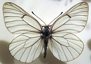 <i>Aporia</i> (butterfly) Butterfly genus in family Pieridae