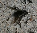 Bombilido - Bee Fly - Flickr - S. Rae (1).jpg