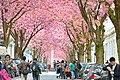 Bonn cherry blossoms Kirschblüten in Heerstr.jpg