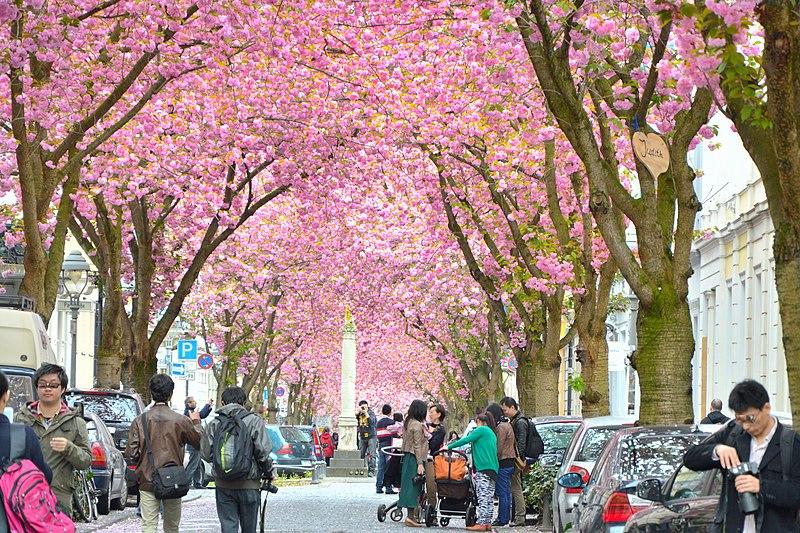 Fichier: Fleurs de cerisier de Bonn Kirschblüten dans Heerstr.jpg