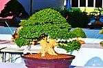 Bonsai in Thailand by Trisorn Triboon.JPG