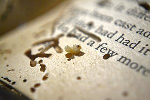 Bookworm (insect) - A bookworm / beetle grub found inside a paperback book, showing some of the damage it has wreaked