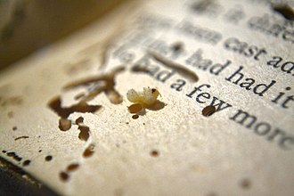 Bookworm (insect) - A bookworm / beetle grub found inside a paperback book, showing some of the damage it has wrought