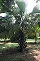 Borassus Aethiopum jeune 07.jpg