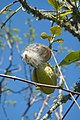 Bordeira - strange fruit? (13469014453).jpg