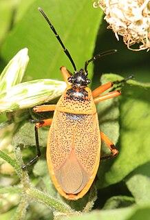 <i>Largus</i> (bug) Genus of true bugs
