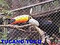 Bosque Fábio Barreto em Ribeirão Preto - Tucano-Toco (Ramphastos toco) - panoramio.jpg