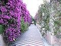 Bougainvillea-Hotel San Domenico-Taormina-Sicilia-Italy-Castielli CC0 HQ - panoramio.jpg