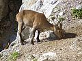 Bouquetin des Alpes (Capra ibex) 01.JPG