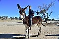 Boy on donkeys, Andriesvale, Kalahari, Northern Cape, South Africa (20351887318).jpg