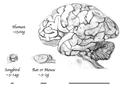 Brain size comparison between bird, rodent, and human with relative scale width lines.png