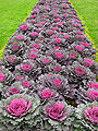 Brassica in a flowerbed 01.jpg