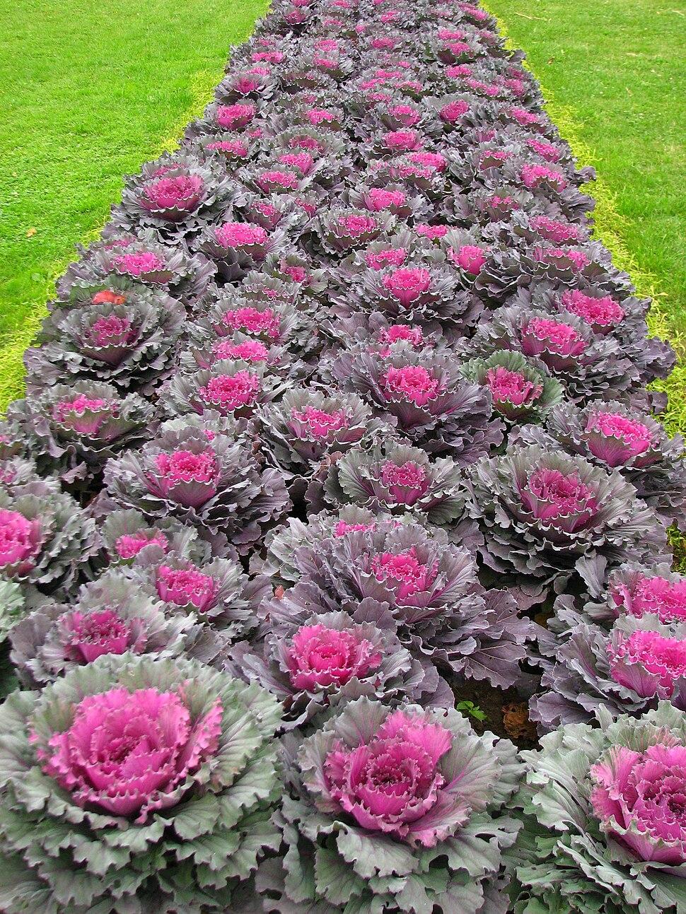 Brassica in a flowerbed 01