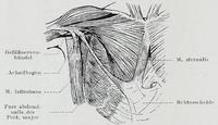 Latissimus dorsi мышца