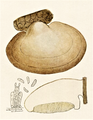 Bresadola - Polyporus betulinus.png