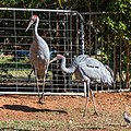 Brolga at Boulia Wildlife Haven Herbert St Boulia Queensland P1030313.jpg
