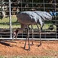 Brolga at Boulia Wildlife Haven Herbert St Boulia Queensland P1030317.jpg