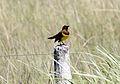 Brown-and-yellow Marshbird (Pseudoleister virescens) (15774305100).jpg