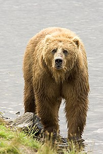 Brown Bear, the largest land carnivoran next t...