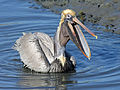 Brown Pelican RWD13b.jpg
