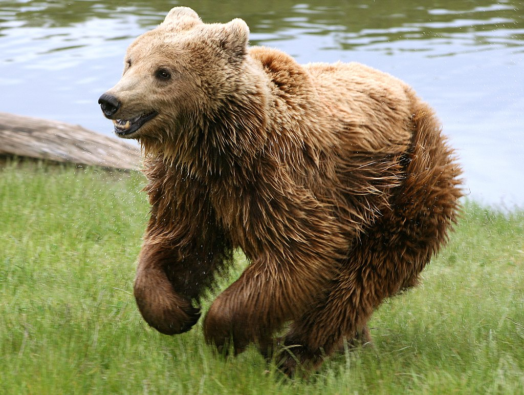 Brown bear (Ursus arctos arctos) running