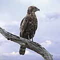 Brown snake eagle, Kruger National Park (38184851511).jpg