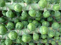 Brussels sprouts (4103982312) (2)