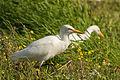 Bubulcus ibis in Israel 2.jpg