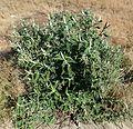 Buddleja salviifolia, habitus, Louwsburg.jpg