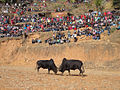 Bull fight NP 03.JPG