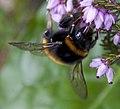 Bumble Bee (4489853775).jpg