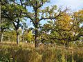 Bur-oak-savanna-fall.jpg