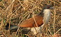 Burchell's Coucal, Centropus burchelli at Borakalalo National Park, South Africa (9856825456).jpg
