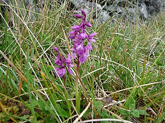 The Burren - Early Purple Orchid
