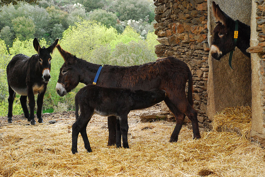 dark-coloured donkeys