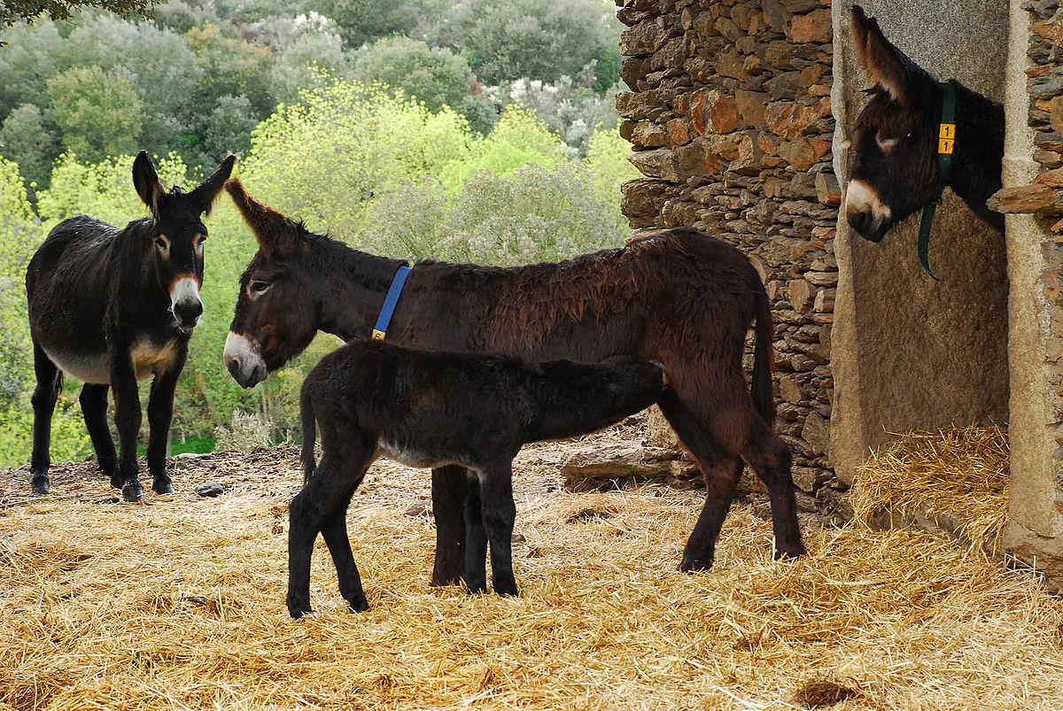 Miranda donkey - Wikipedia