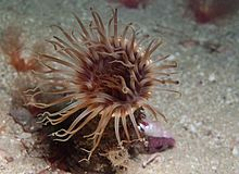 Burrowing anemone 0796.jpg
