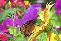 Butterfly Garden (25592094544).jpg